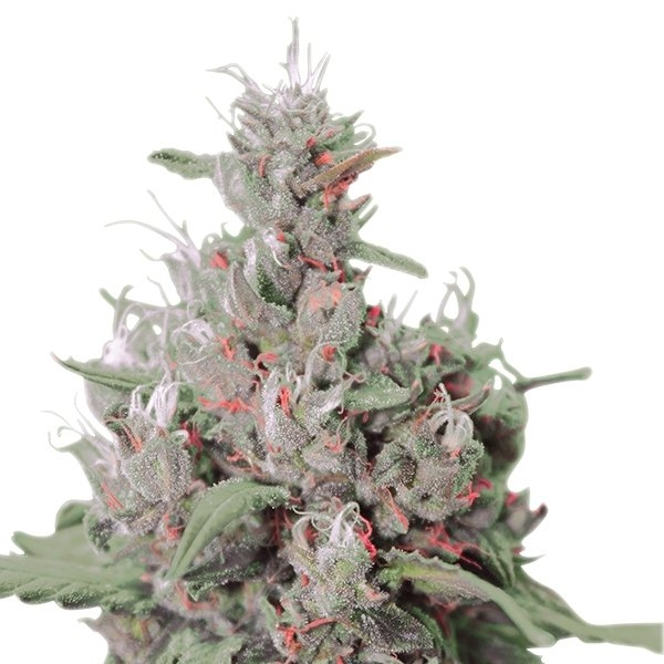 Royal Creamatic Strain