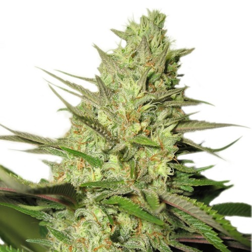 Royal Jack Automatic Strain
